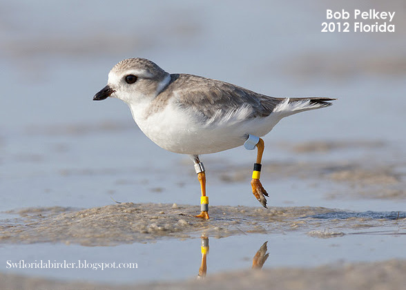 Piping Plover 7