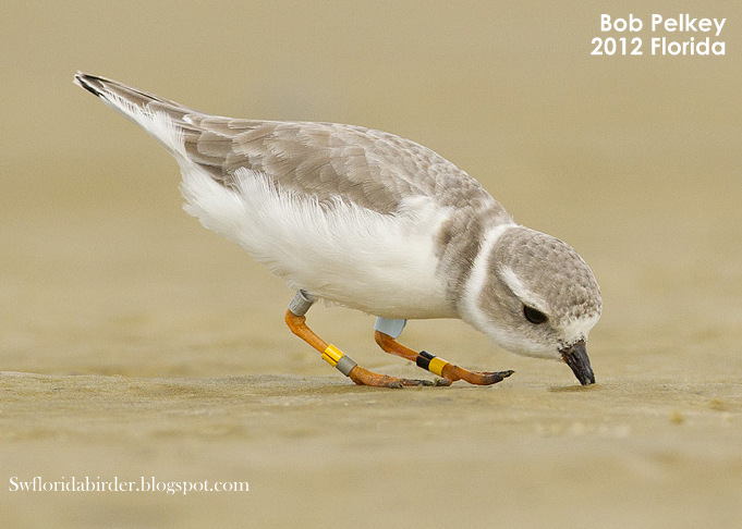 Piping Plover 3