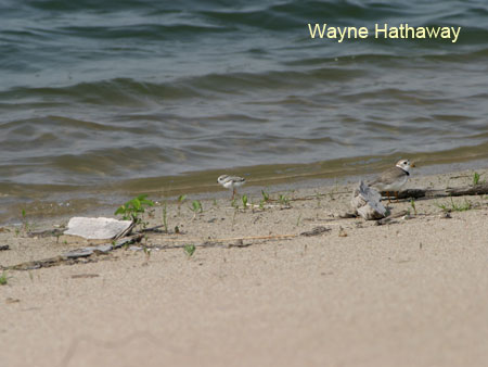 Adult male plover with chick near water.
