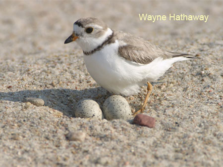 Adult Piping Plover on nest