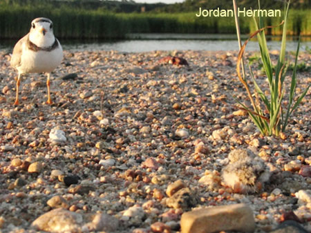 Adult Piping Plover with day old chick (lower righ corner)