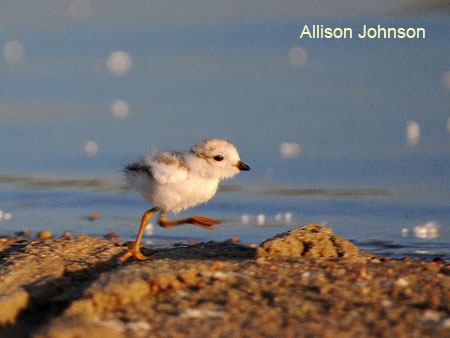day-old plover chick running across the sand at Lake McConaughy, NE