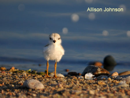 Day-old plover chick at Lake McConaughy, NE