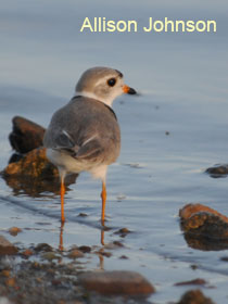 Piping Plover in water