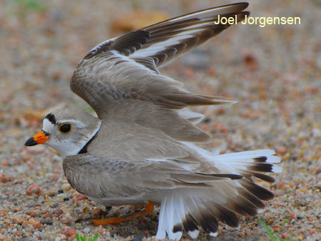 Piping Plover feigning a broken wing to draw prey from the plover's nest.