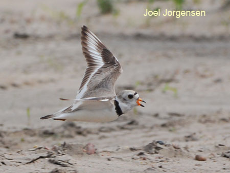 Piping Plover flying across the sandbars of a river bed.