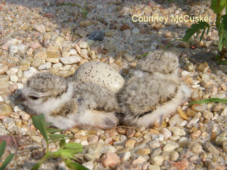 One day old Piping Plover chick with unhatched egg.