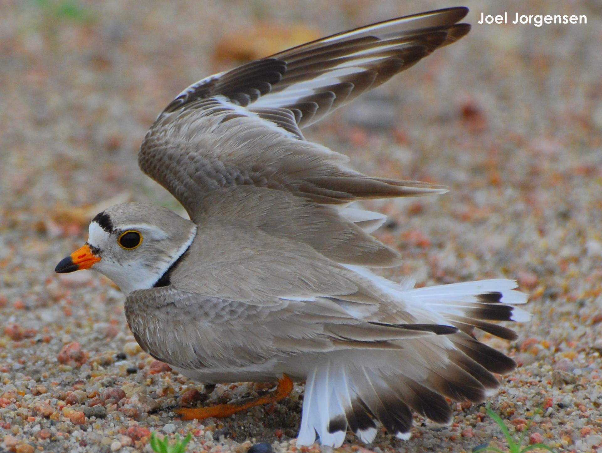 Adult plover using a broken wing display
