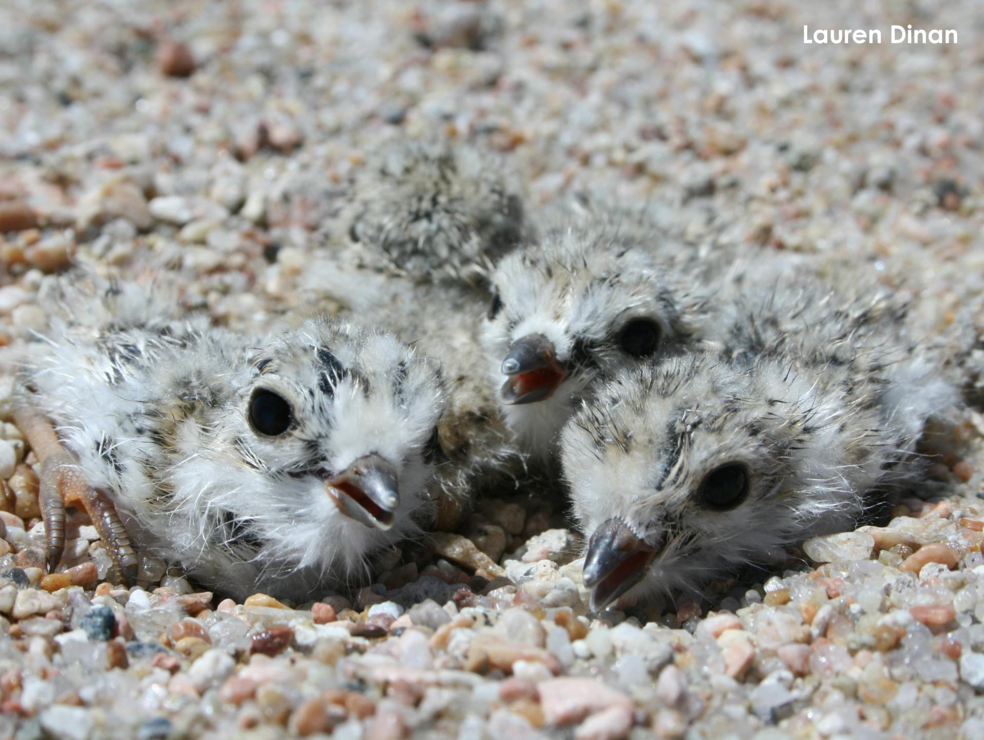 1-day-old plover chicks in nest cup