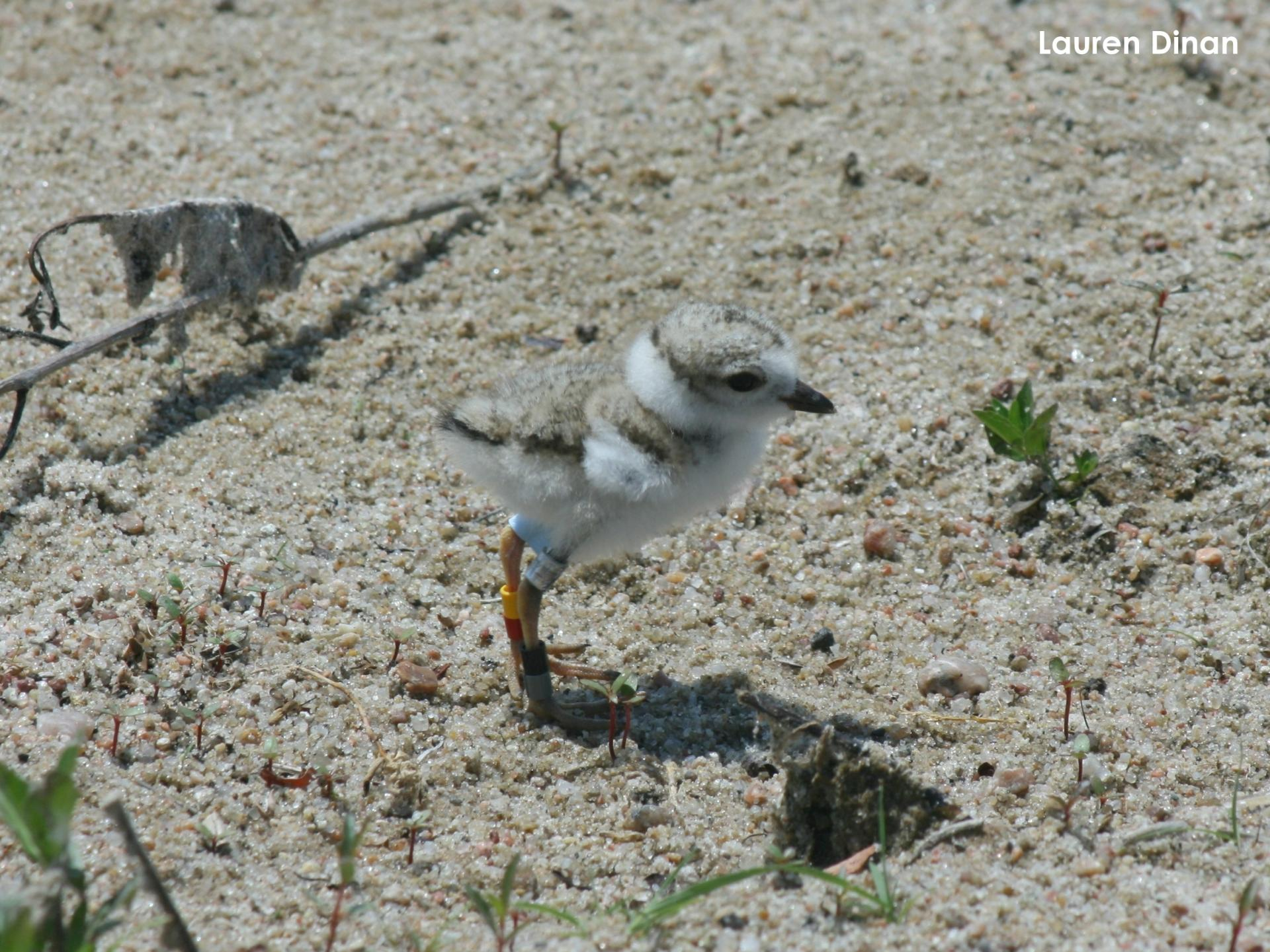 Plover chick with color bands