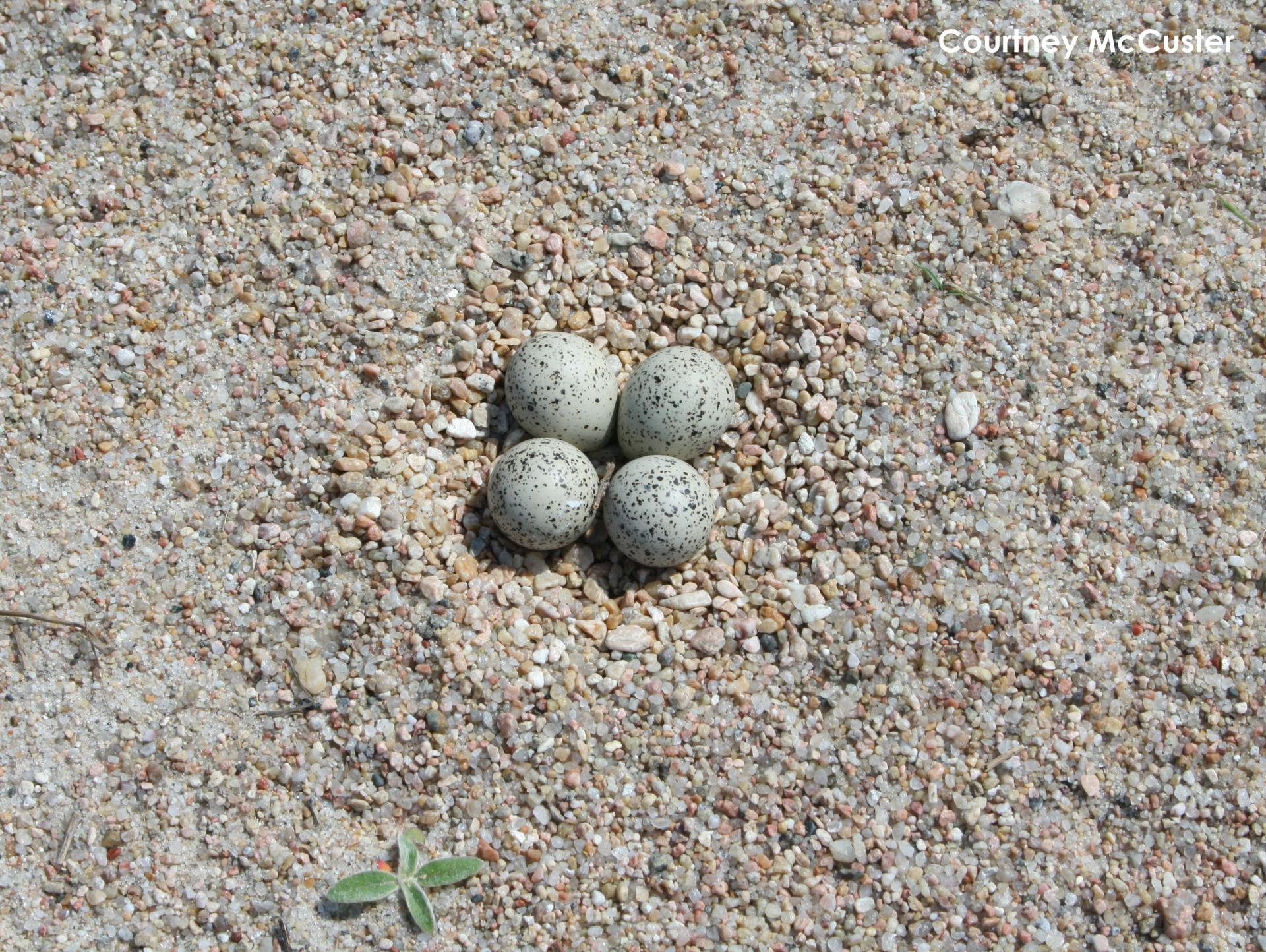 Piping Plover nest lined with small pebbles