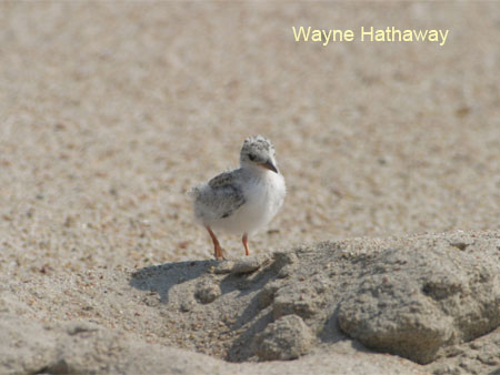 Interior Least Tern chick
