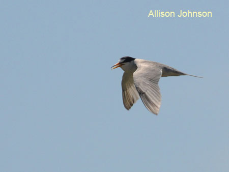 Interior Least Tern in flight