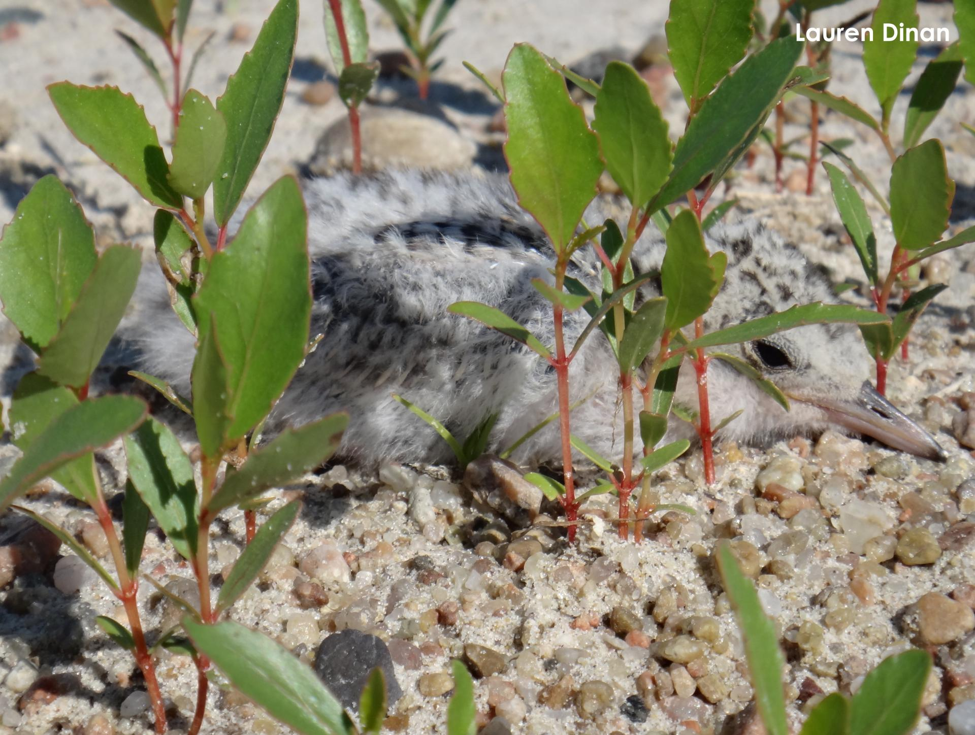 Tern chick hiding in the vegetation