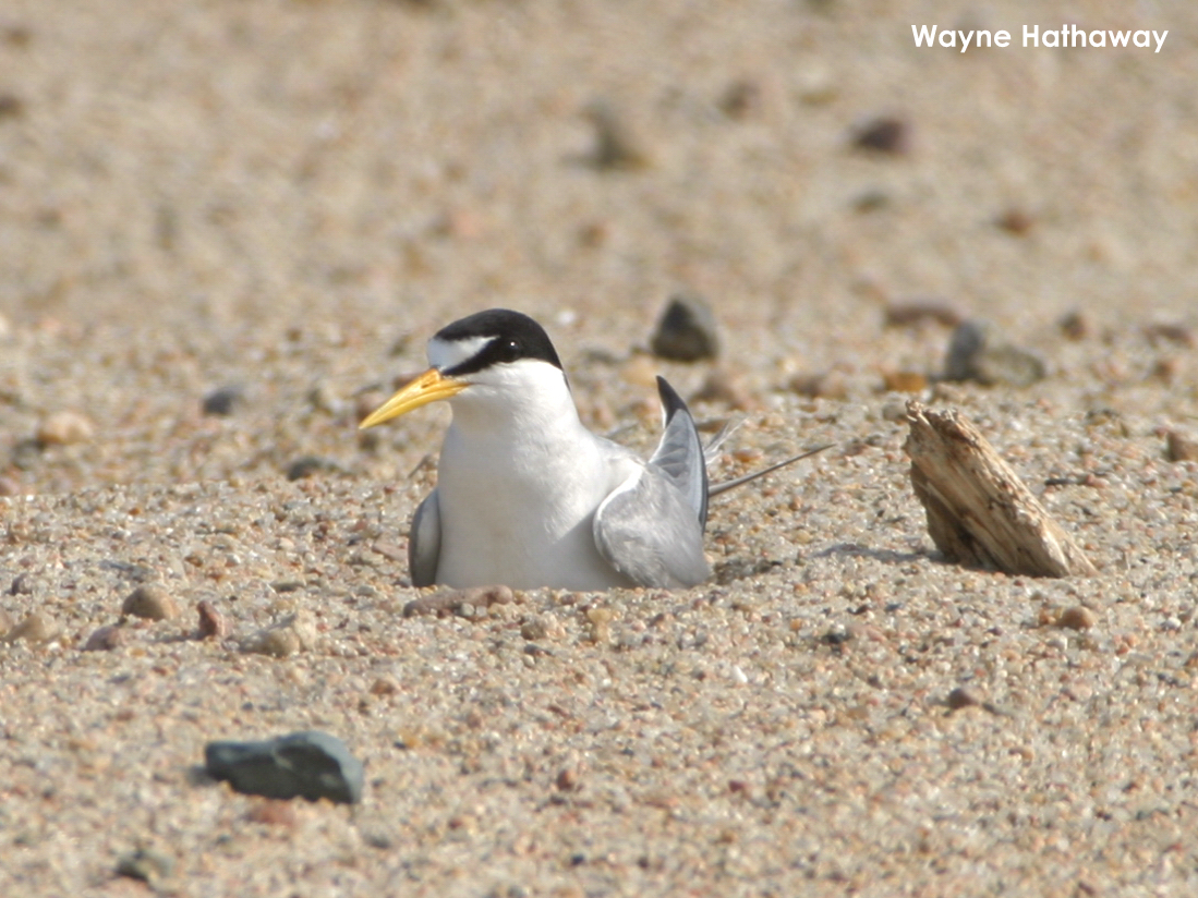 Interior Least Tern incubating eggs