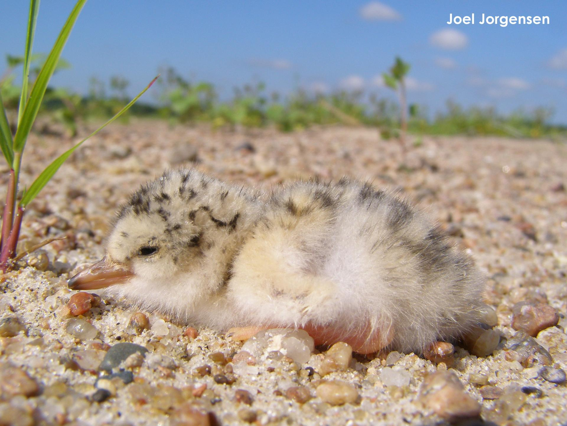 Tern chick resting on the sand