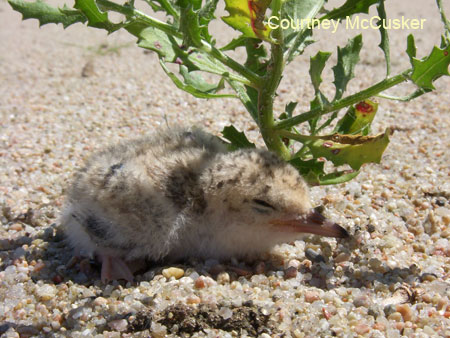 Interior Least Tern chick looking for a little shade