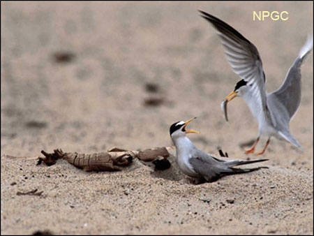 Interior Least Terns sharing a fish
