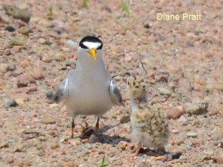 Adult Interior Least Tern and chick