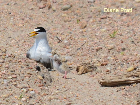 Interior Least Tern adult and chick