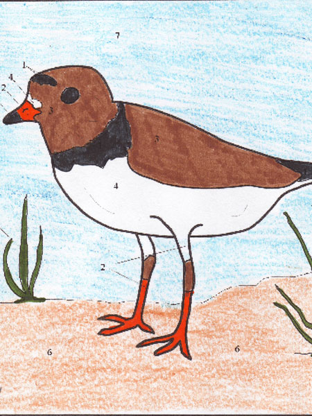 Kevin's Plover