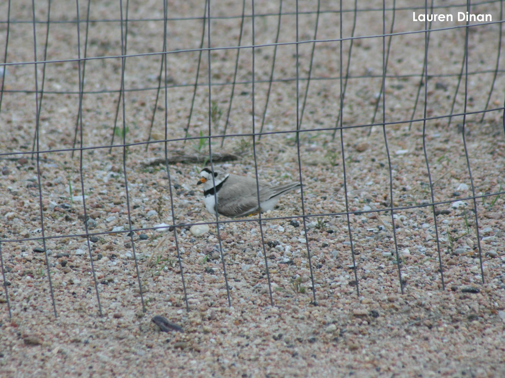 Adult plover on nest in the protective exclosure