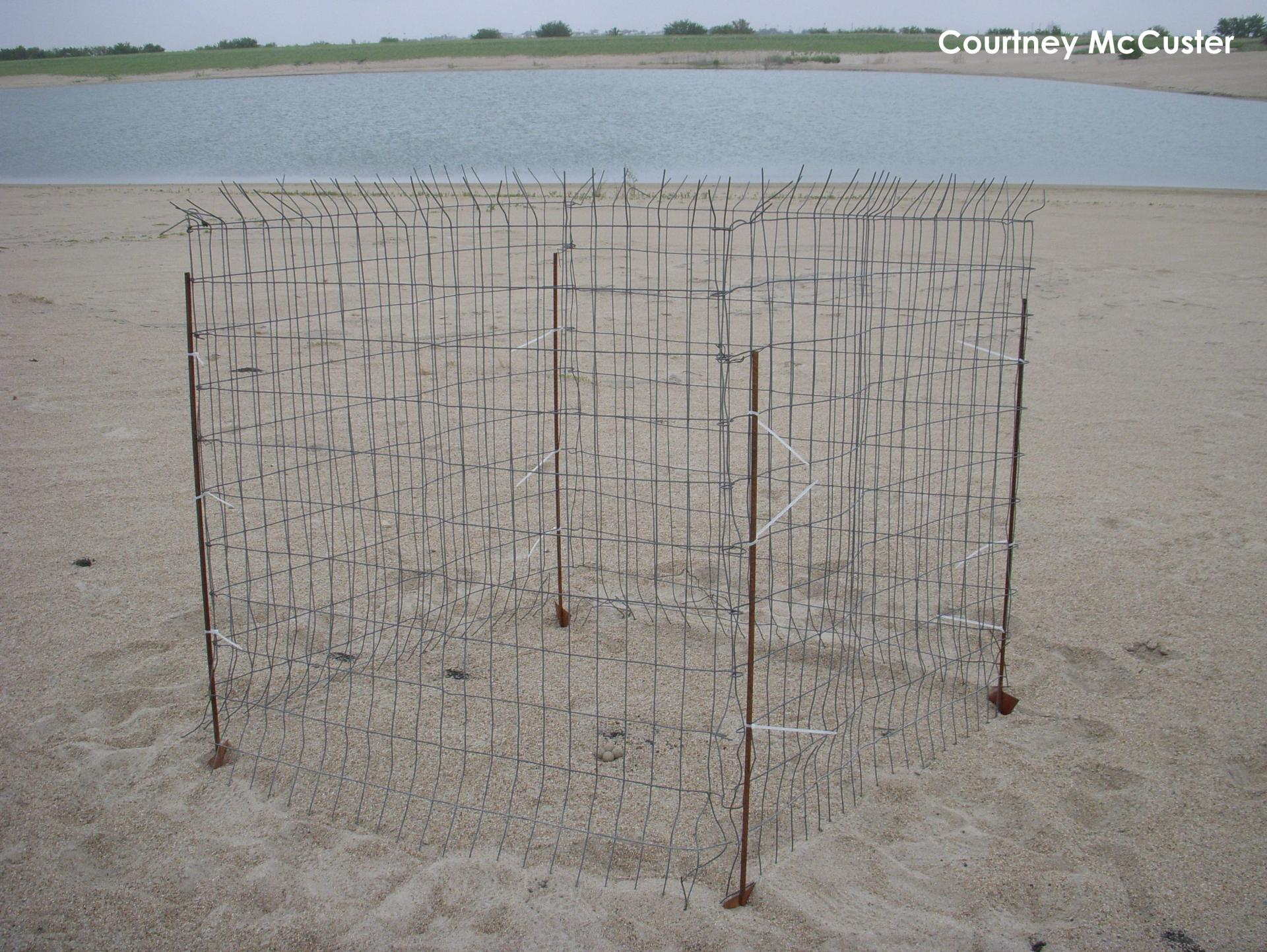 Wire exclosure around a Piping Plover nest to protect it from predators