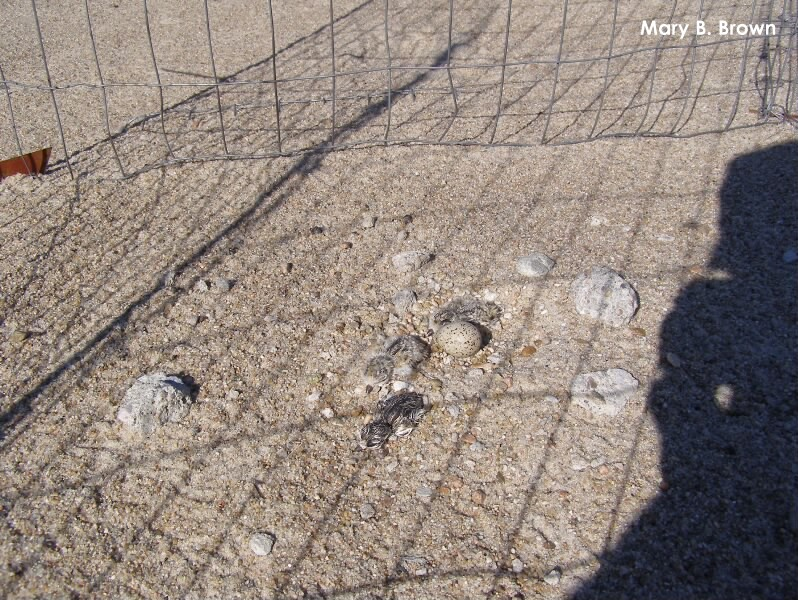 Plover chicks protected by the metal exclosure