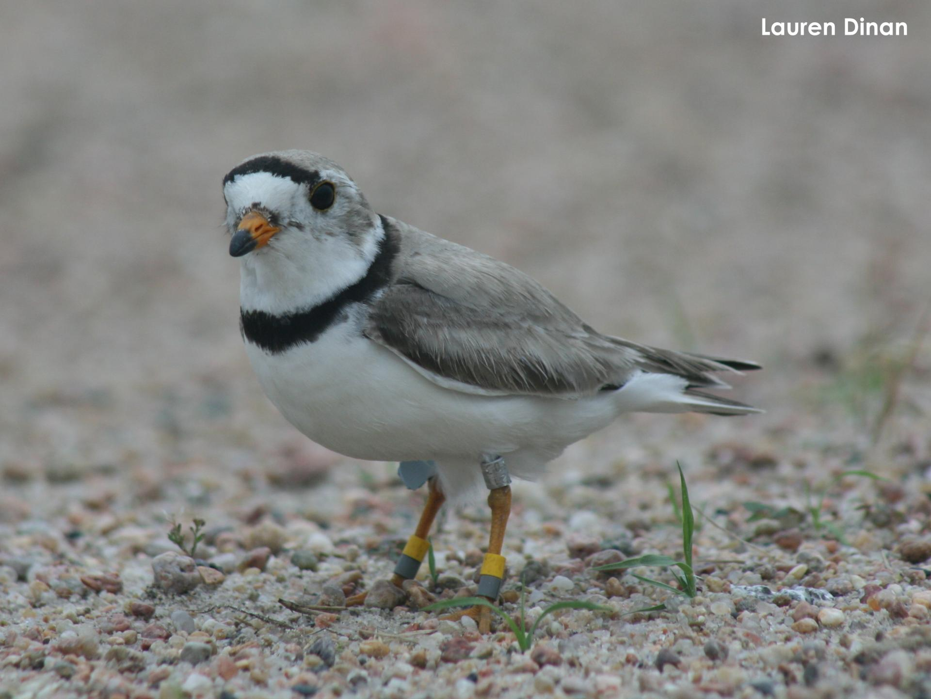 Adult plover banded along the lower Platte River study area