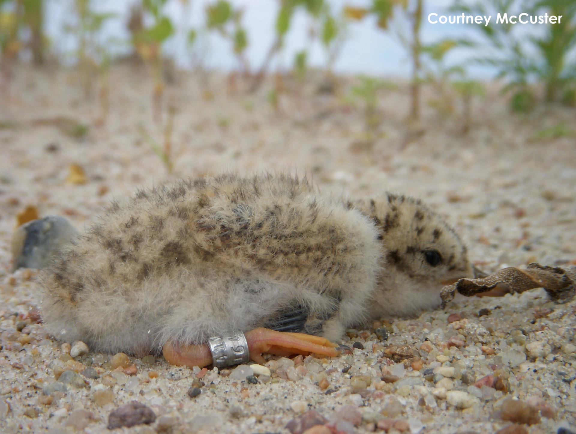 5-day-old tern chick with his metal leg band