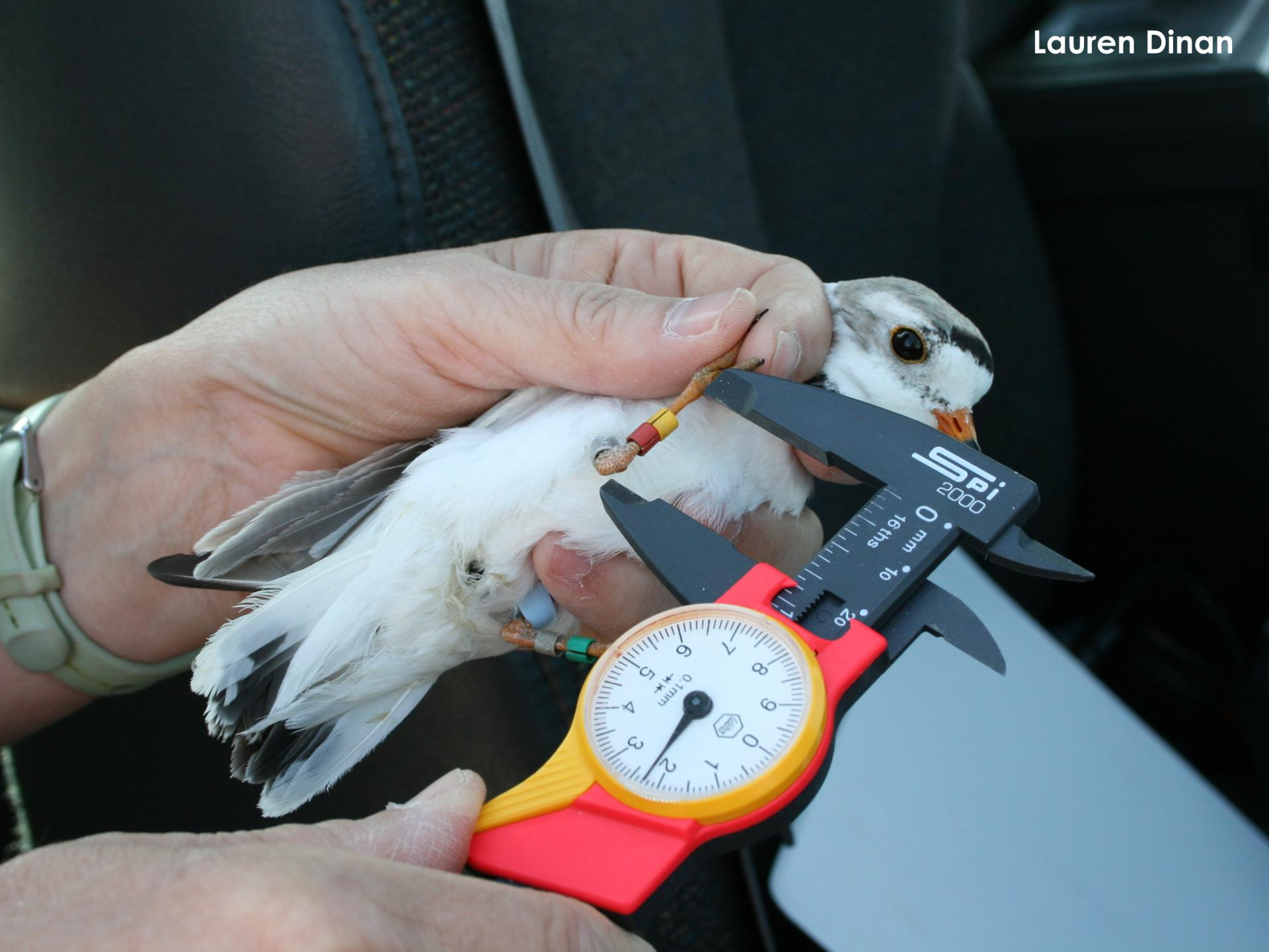 Adult plover getting his leg measured
