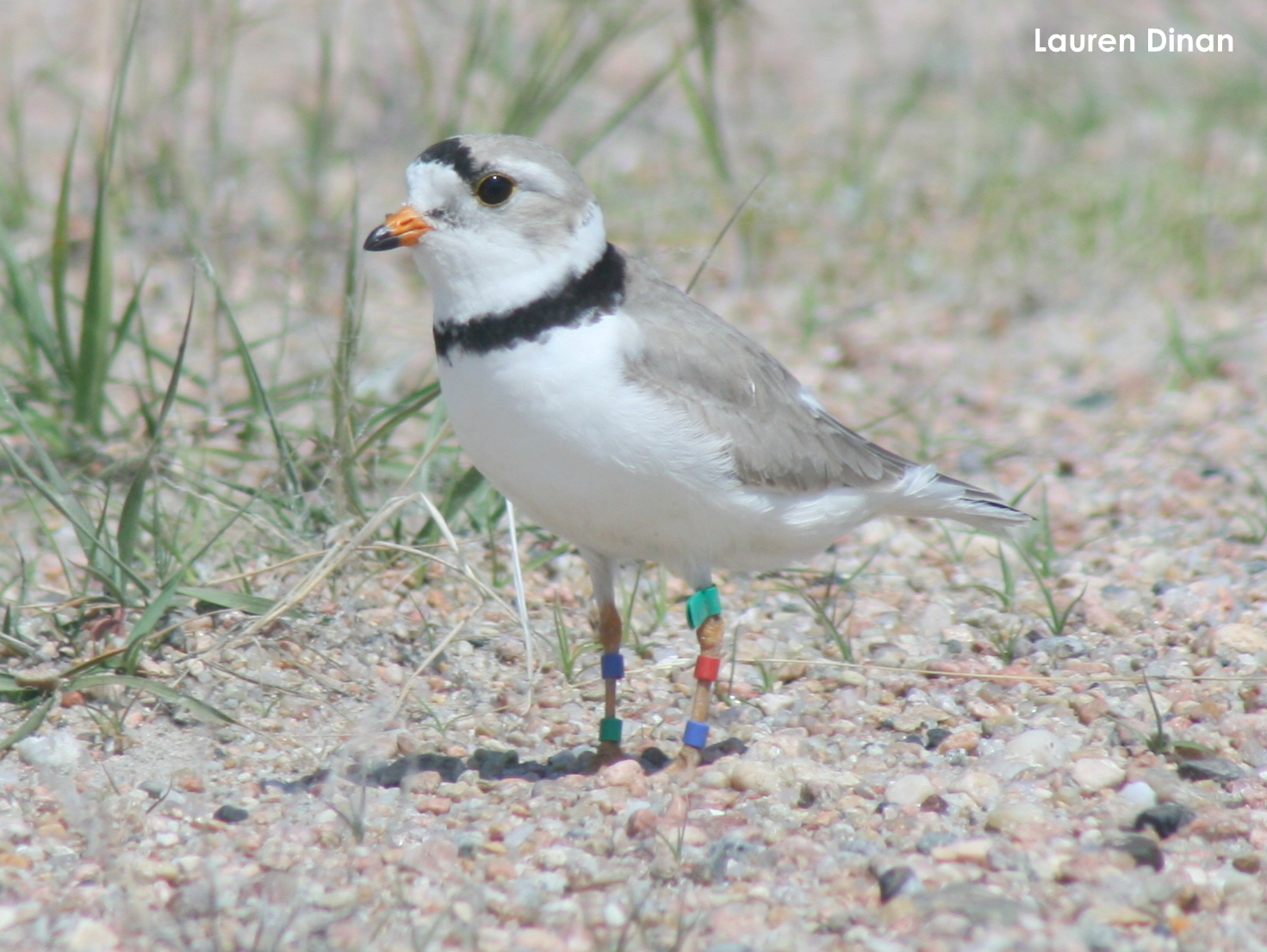 Green flagged plover banded along the Gulf Coast and nesting along the Lower Platte River