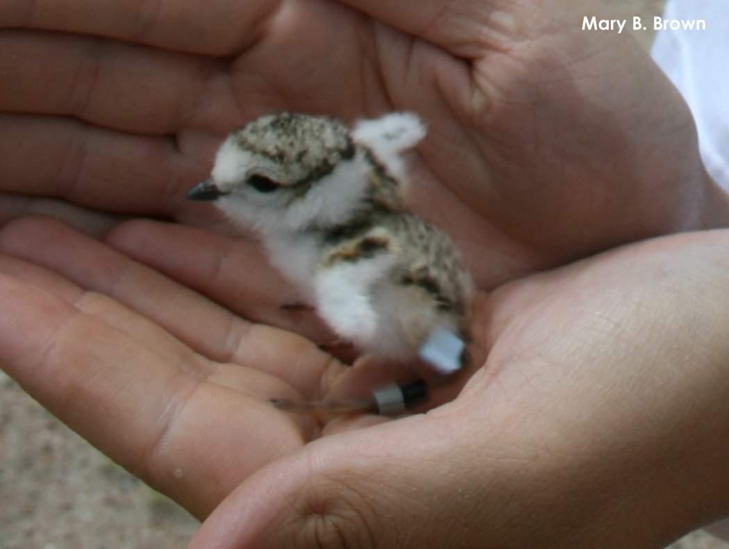Piping Plover chick with leg bandss