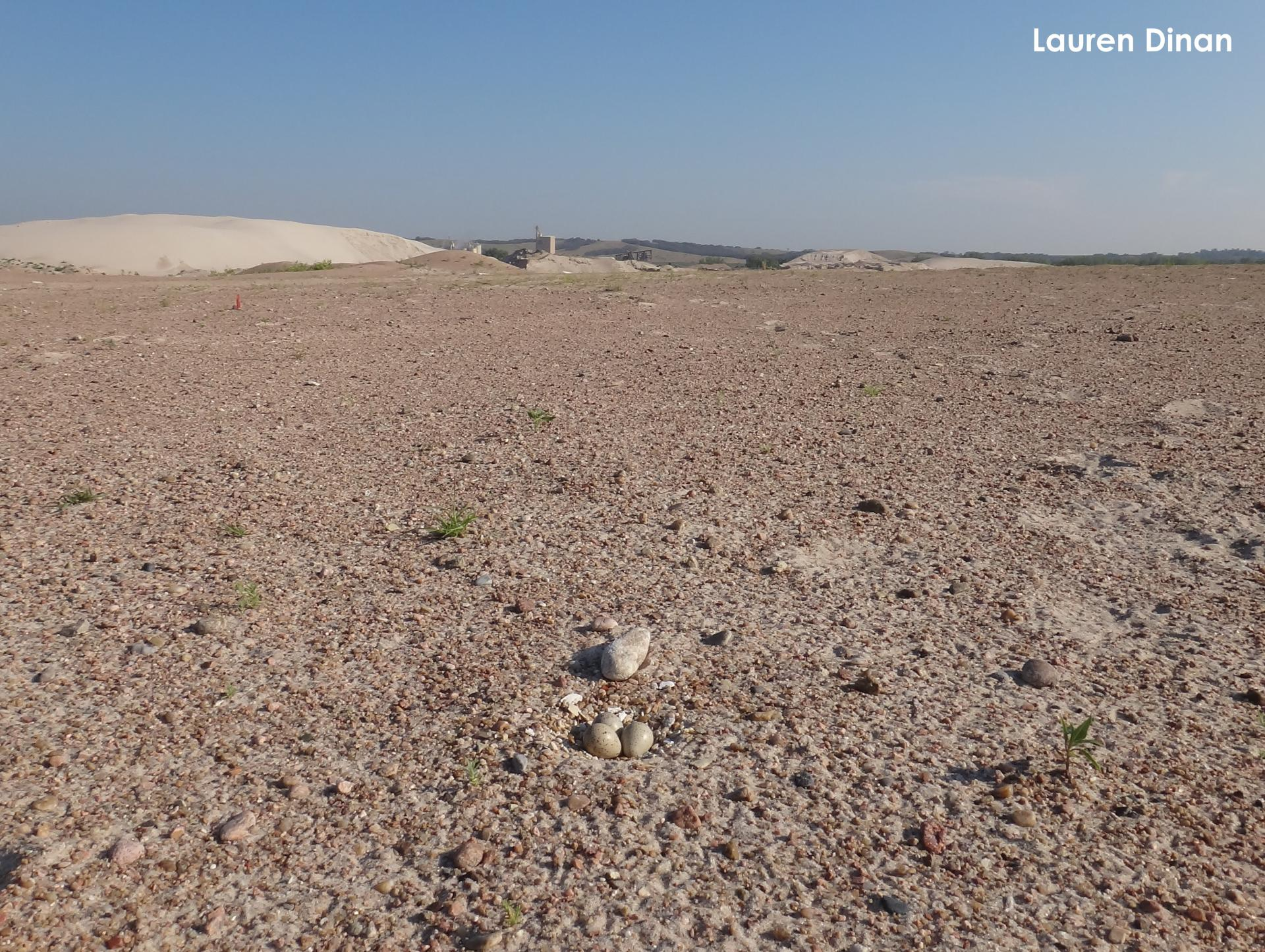 A plover nest at a sand and gravel mine