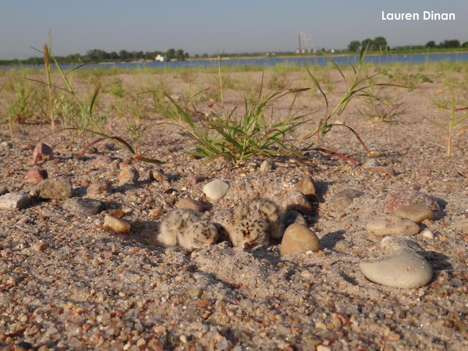 Tern chicks at a sand and gravel mine