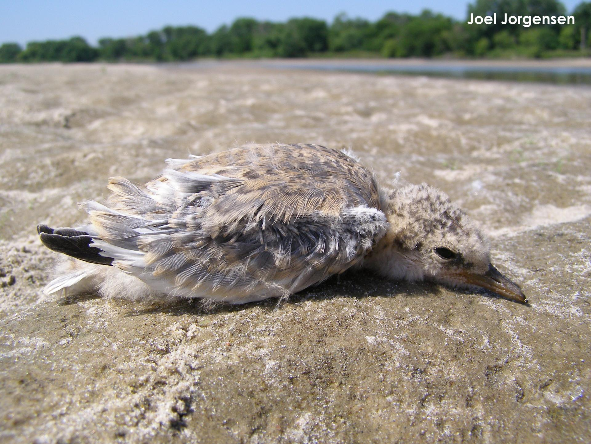12-day-old tern chick on a river sandbar